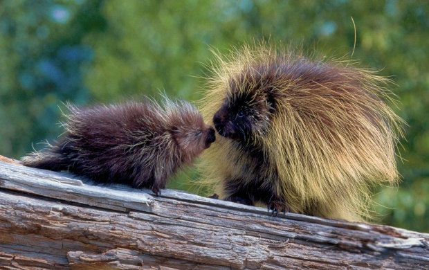 Porcupine At Tree (click to view)