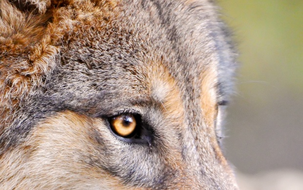 Predator Wolf Face (click to view)