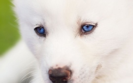Pretty White Puppy Blue Eyes