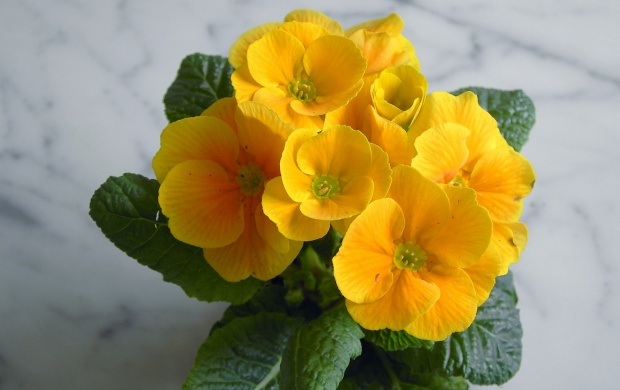 Primroses (click to view)