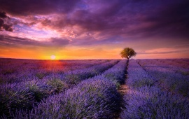 Provence Field Lavender Sunset