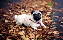 Pug Dog Fall Leaves