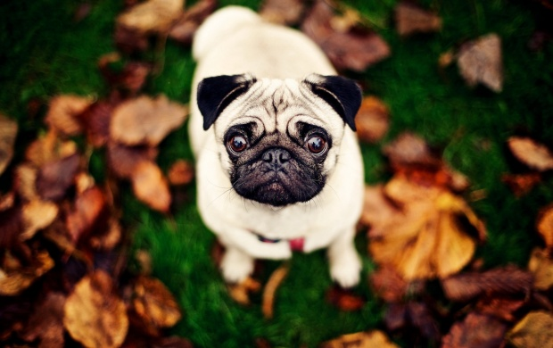 Pug Dog Looking Up (click to view)