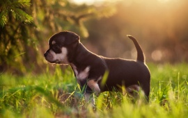 Puppy At Morning Grass
