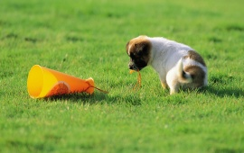 Puppy Dog Playing In Grass