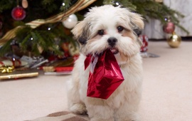 Puppy Ready For Christmas