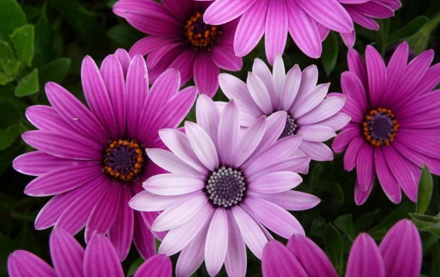 Purple Chrysanths (click to view)