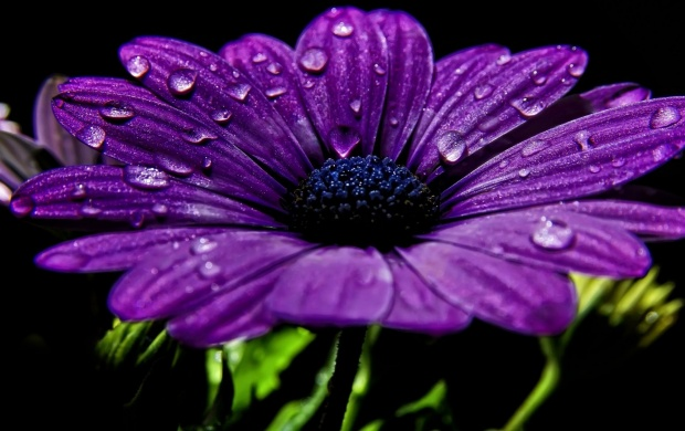Purple Daisy (click to view)