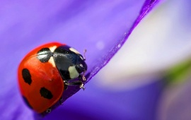 Purple Flower Petals On Ladybug
