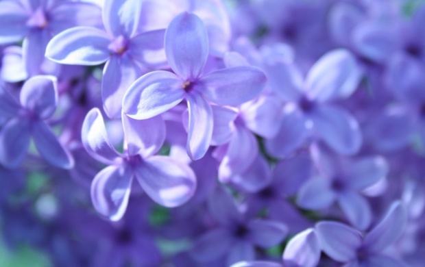 Purple Flowers (click to view)