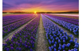 Purple Flowers Field At Sunset