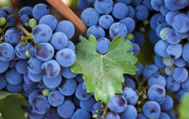 Purple Grapes and Vine Leaf