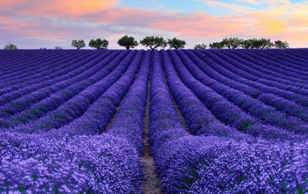 Purple Lavender Field (click to view)