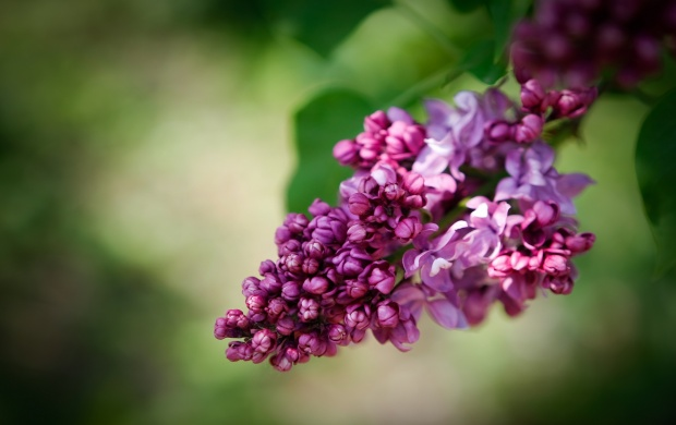 Purple Lilac Flowers (click to view)