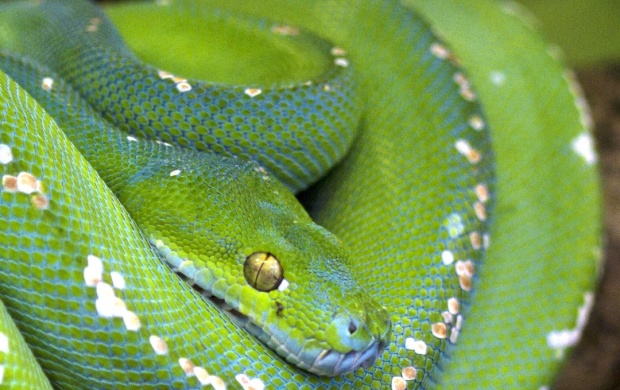 Python Scales Green Branch Snake (click to view)