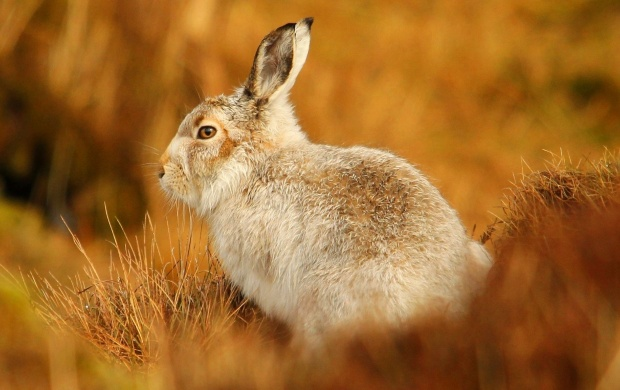 Rabbit At Grass Blur (click to view)