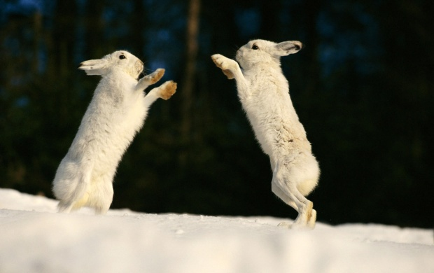 Rabbits playing (click to view)