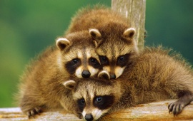 Raccoon Babies On Branch