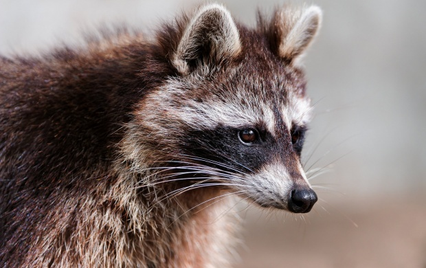 Raccoon Eyes And Ears (click to view)
