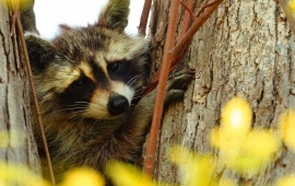 Raccoon Hug Tree Branch