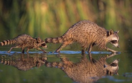 Raccoons And His Baby Reflection