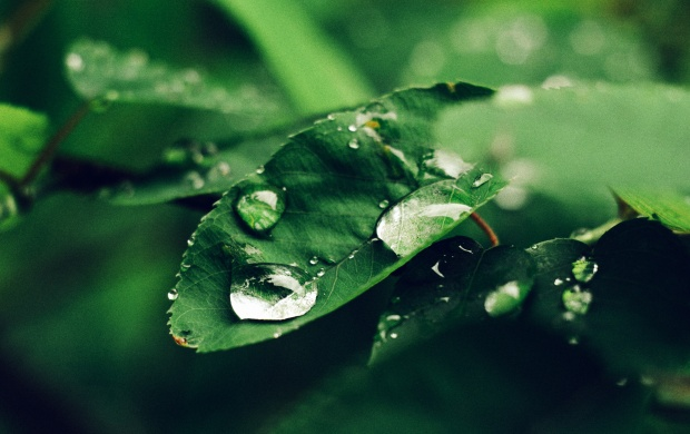 Rain Drops on Green Leaf (click to view)