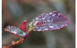 Rain Drops On Red Leaf