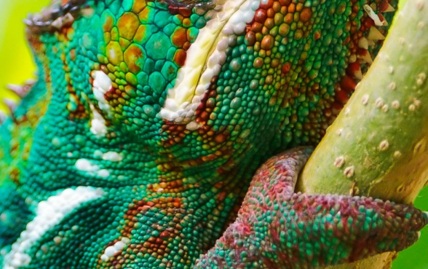 Real Colorful Chameleon (click to view)