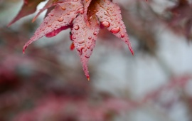 Red Autumn Leaves On Drops