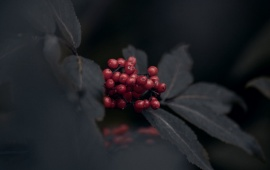 Red Berries And Black Leaves