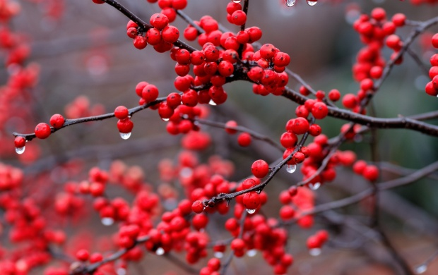 Red Berry Branch And Rain Drops (click to view)