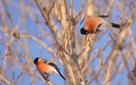 Red Bullfinch Bird On A Tree