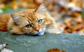 Red Cat Sleep On Autumn
