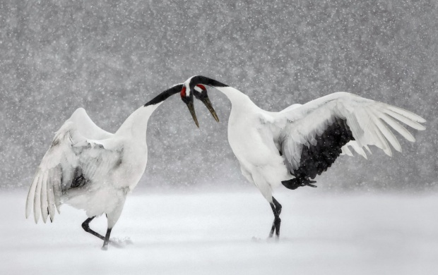 Red Crowned Cranes (click to view)