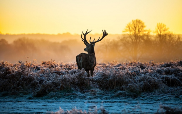 Red Deer In The Morning Sun (click to view)