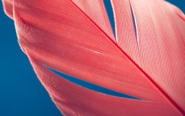 Red Feather on Blue Background