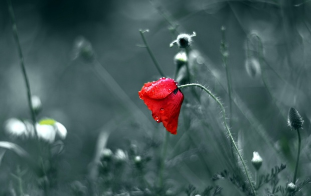 Red Flower On Dew (click to view)