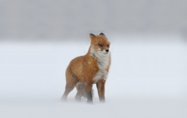 Red Fox In A Snow Storm