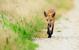 Red Fox Walk