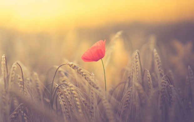 Red German Poppy And Wheat Field (click to view)