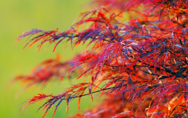 Red Leaves Shrub (click to view)