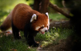 Red Panda Walking
