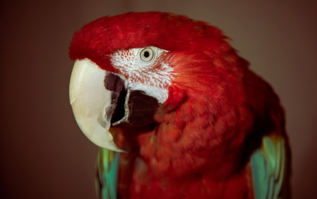 Red Parrot Bird (click to view)