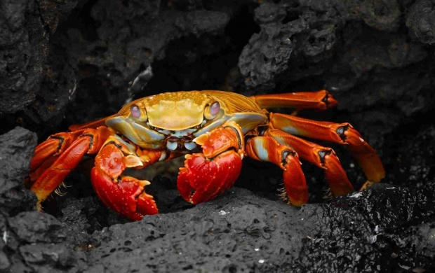Red Rock Crab (click to view)