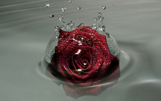 Red Rose in the Water (click to view)