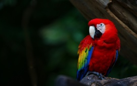 Red Scarlet Macaw