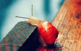 Red Snail Animal