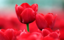 Red Tulips Close-Up