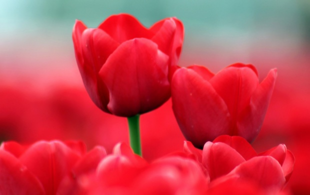 Red Tulips Close-Up (click to view)