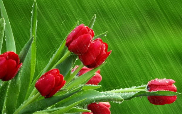 Red Tulips in the Rain (click to view)